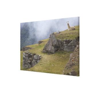 Llama (Lama glama) amongst the Inca terraces at Canvas Print