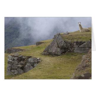 Llama (Lama glama) amongst the Inca terraces at Card