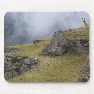 Llama (Lama glama) amongst the Inca terraces at Mouse Pad