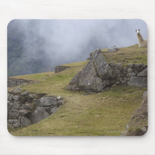 Llama (Lama glama) amongst the Inca terraces at Mouse Pad