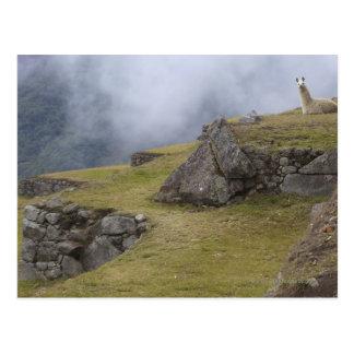 Llama (Lama glama) amongst the Inca terraces at Postcard