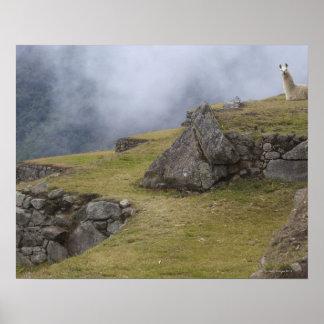 Llama (Lama glama) amongst the Inca terraces at Poster
