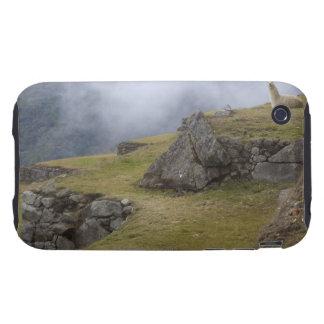 Llama (Lama glama) amongst the Inca terraces at Tough iPhone 3 Cover