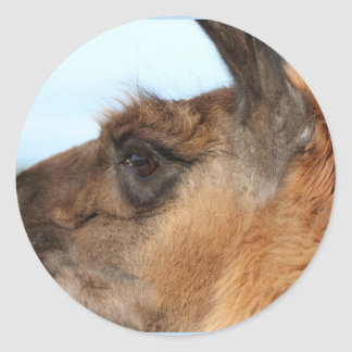 Llama looking left-Brown llama in a field Stickers