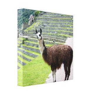 llama looks canvas