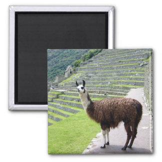 llama looks magnet