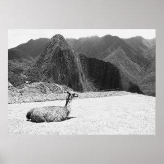 Llama, Machu Picchu, Peru, Photography Poster