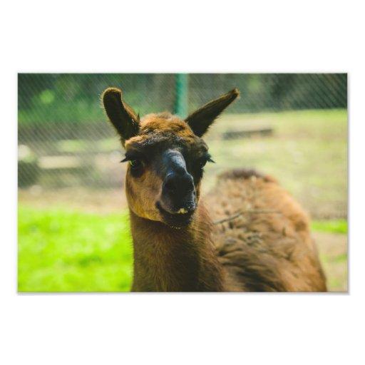 Llama Art Photo