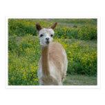 Llama Portrait Post Cards
