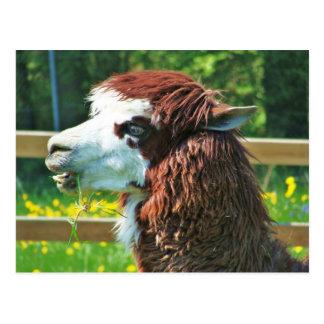 Llama - Postcard