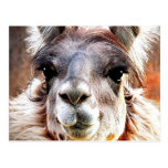 Llama Postcards