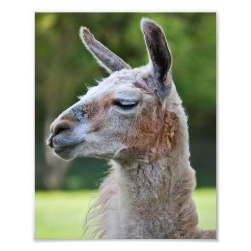 Llama Print Art Photo