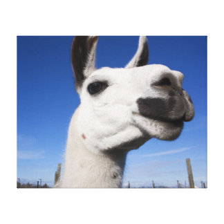 Llama saying hello wrapped canvas stretched canvas print