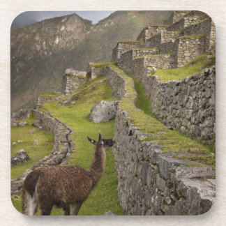 Llama stands on agricultural terraces with beverage coaster