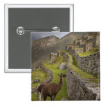 Llama stands on agricultural terraces with 2 inch square button