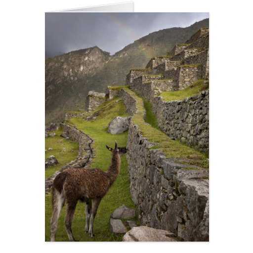 Llama stands on agricultural terraces with greeting card