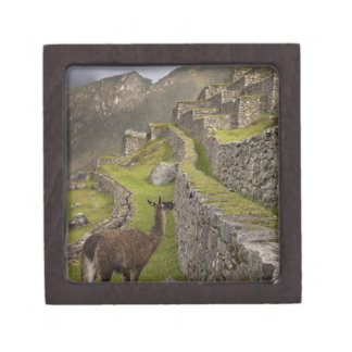 Llama stands on agricultural terraces with gift box