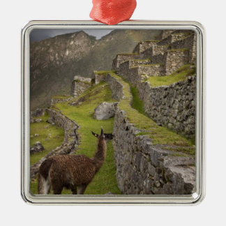 Llama stands on agricultural terraces with metal ornament