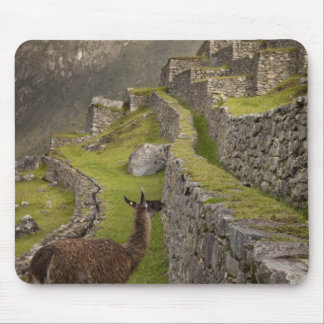 Llama stands on agricultural terraces with mouse pad