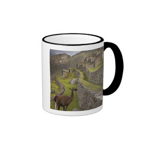 Llama stands on agricultural terraces with mugs