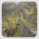 Llama stands on agricultural terraces with square sticker