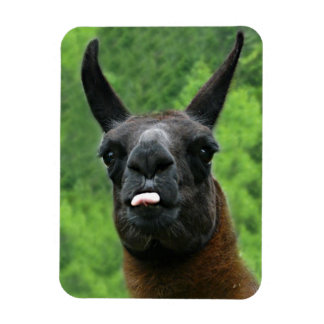 Llama with Attitude - Sticking out Tongue Photo Magnet