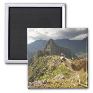 LLamas and an over look of Machu Picchu, 2 Inch Square Magnet
