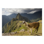 LLamas and an over look of Machu Picchu, Poster