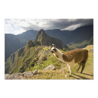 Llamas y una mirada excesiva de Machu Picchu, Impresion Fotografica