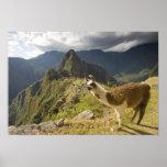 Llamas y una mirada excesiva de Machu Picchu, Póster