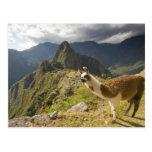 Llamas y una mirada excesiva de Machu Picchu, Tarjeta Postal