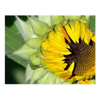 Lo! a Sunflower is Born Postcard