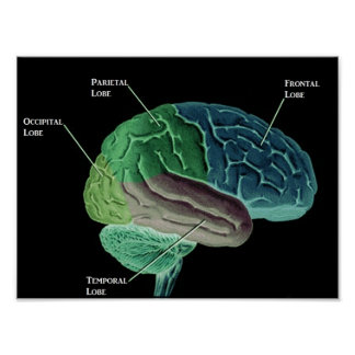 Lobes of the Brain Poster