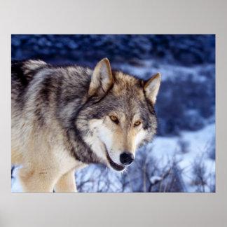 Lobo 2 del invierno impresiones