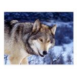 Lobo 2 del invierno postales