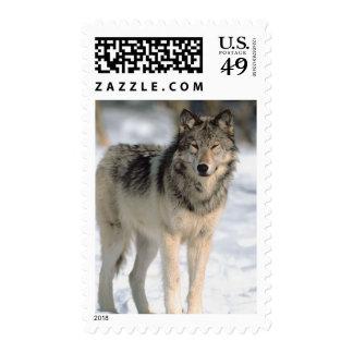 Lobo alerta envio