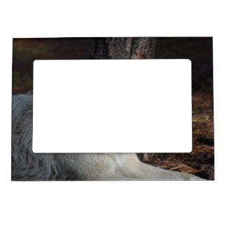 Lobo ártico adorable marcos magnéticos de fotos