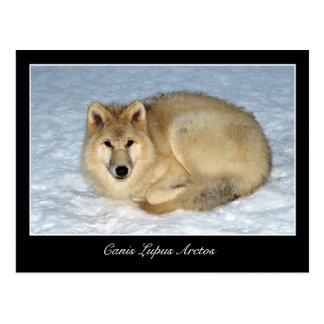 Lobo ártico de la foto (lobo polar, White Wolf) Tarjetas Postales