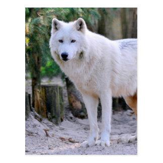 Lobo ártico en el bosque postal
