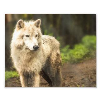 Lobo ártico mojado en foto de la primavera cojinete