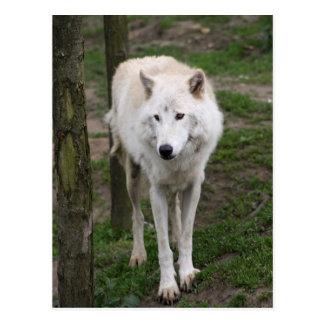 lobo ártico postales