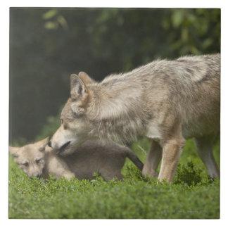 Lobo con el perrito azulejo cuadrado grande
