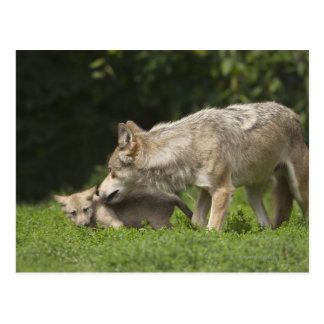 Lobo con el perrito postales