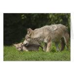 Lobo con el perrito tarjetas