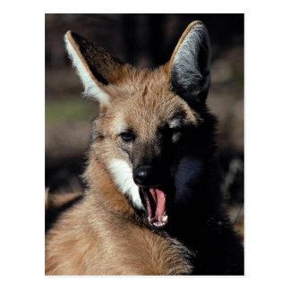 Lobo crinado que bosteza postal