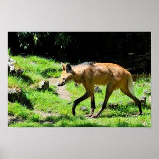 Lobo crinado que camina en hierba póster