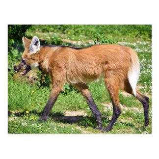 Lobo crinado que camina en hierba tarjetas postales