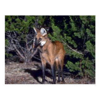 Lobo crinado postales