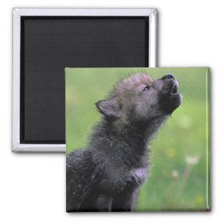 Lobo Cub que grita Imán Cuadrado