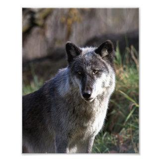 Lobo de madera - ascendente cercano cojinete